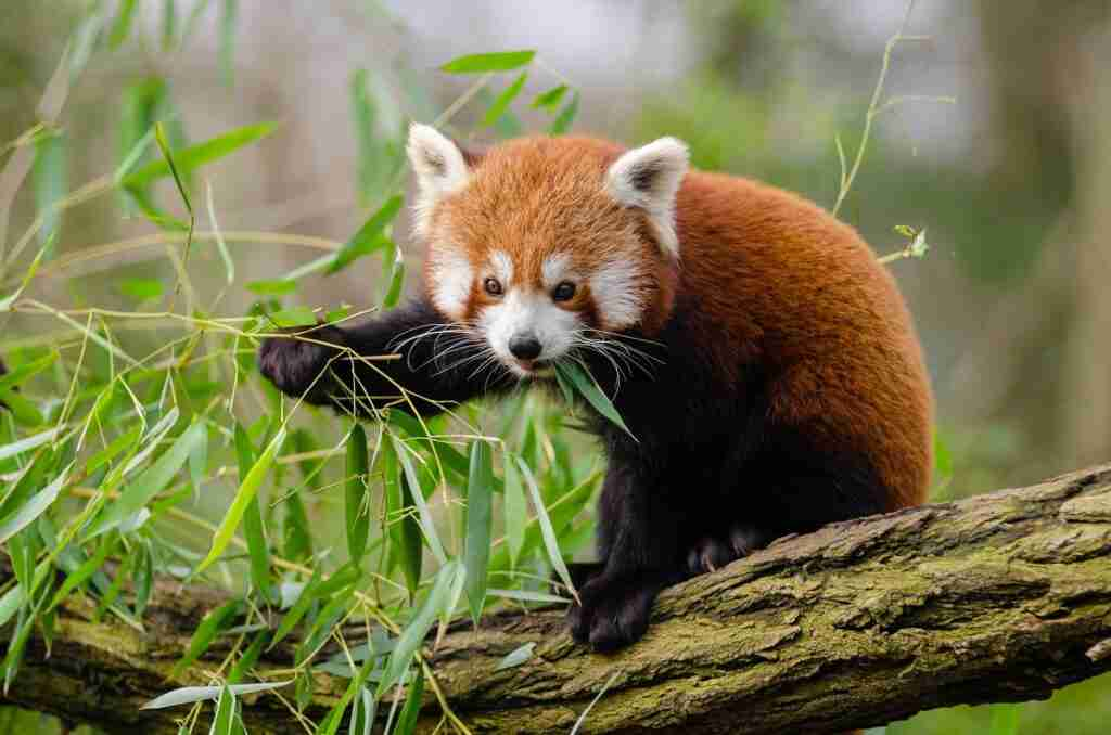 Can Red Pandas Eat Mice