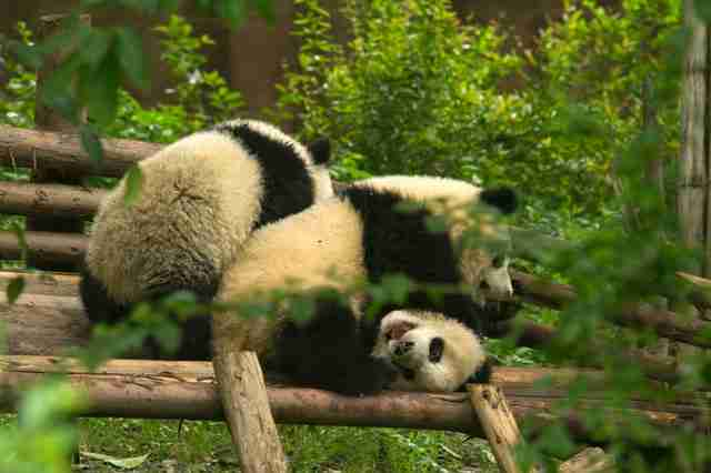 How Do Pandas Reproduce