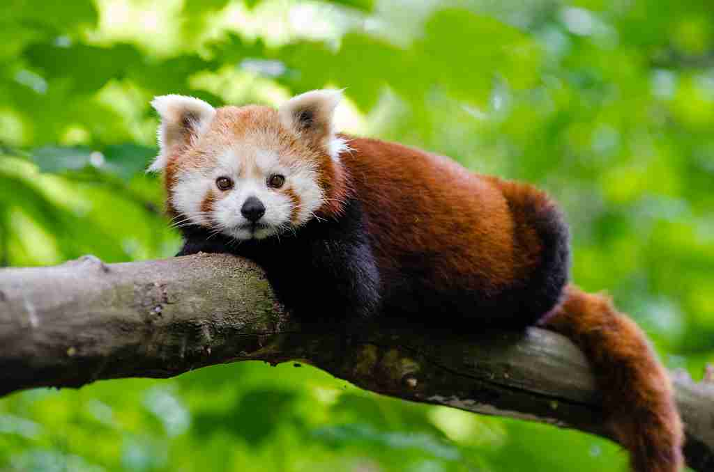 can i buy a red panda as a pet