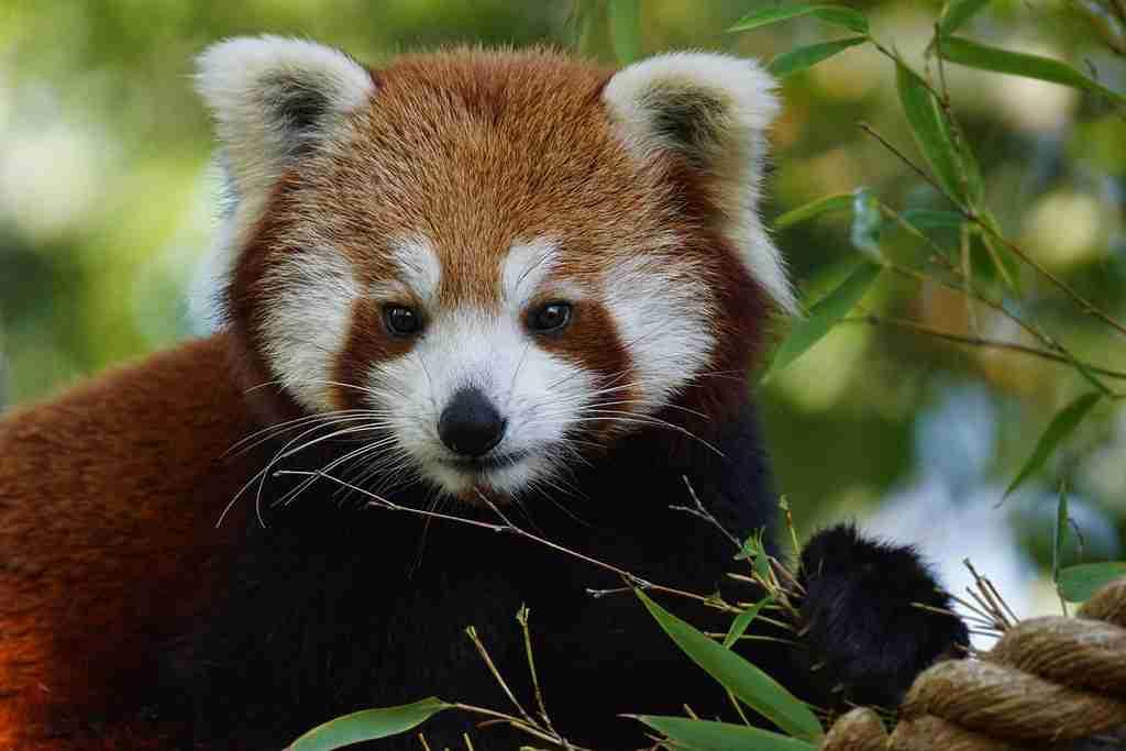 do red pandas eat bamboo