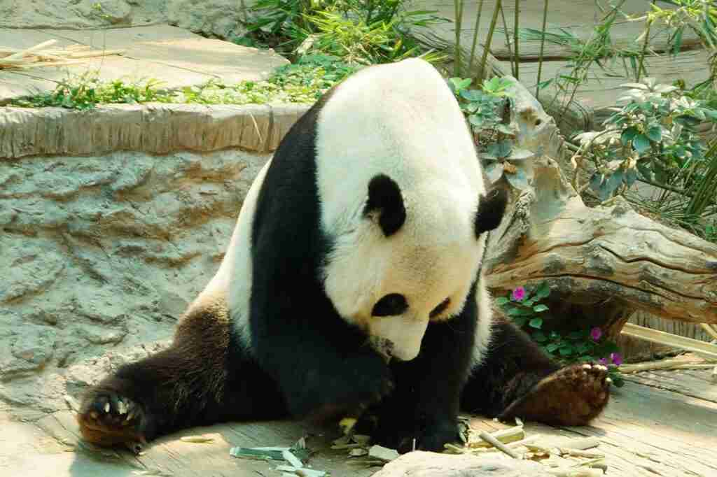 pandas and bears are affectionate