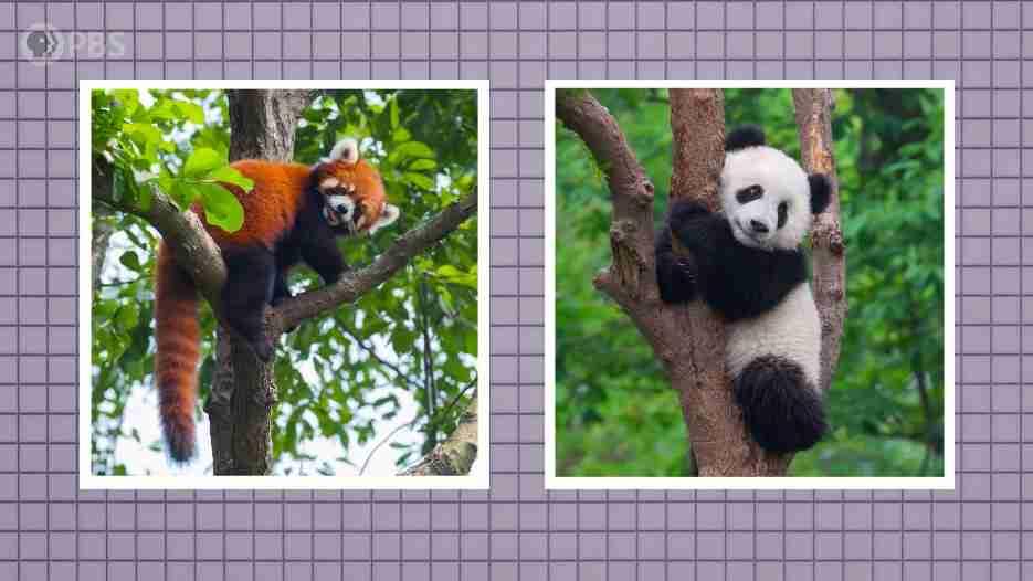 giant panda vs red panda