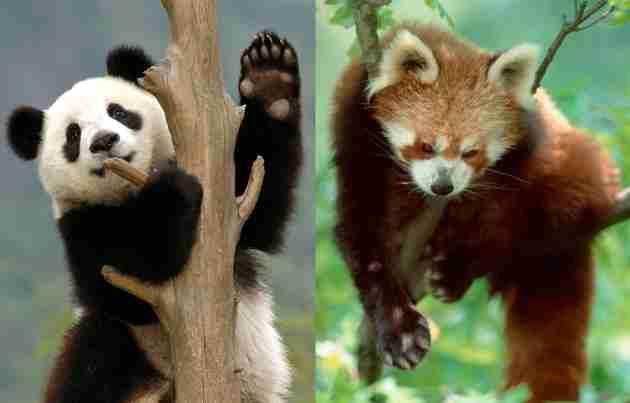 giant pandas vs red pandas