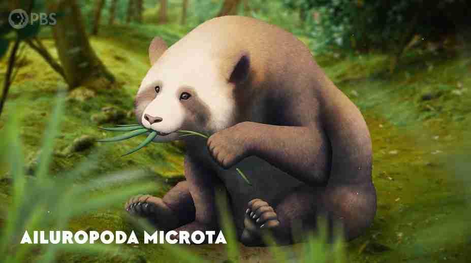 panda common ancestor