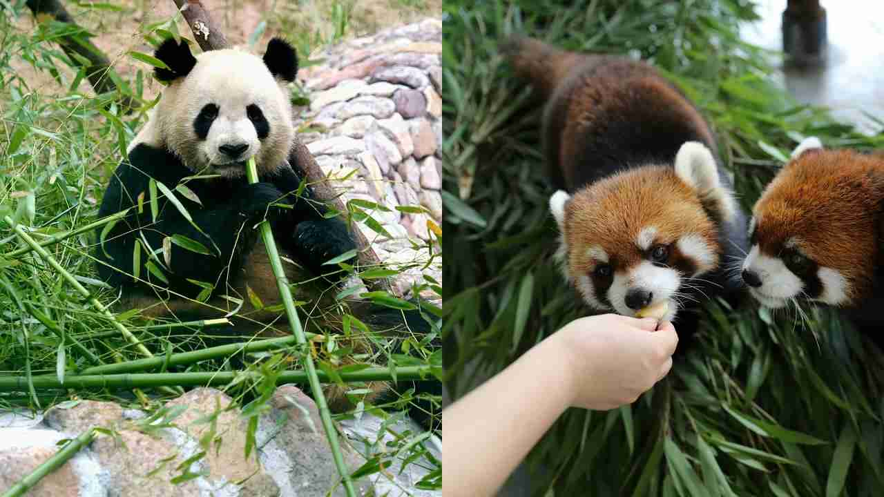 what do red pandas and giant pandas have in common
