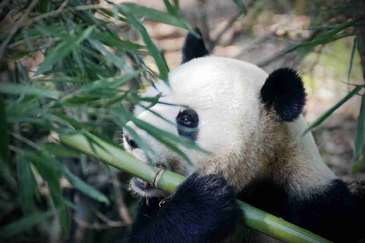 which type of grass do giant pandas eat