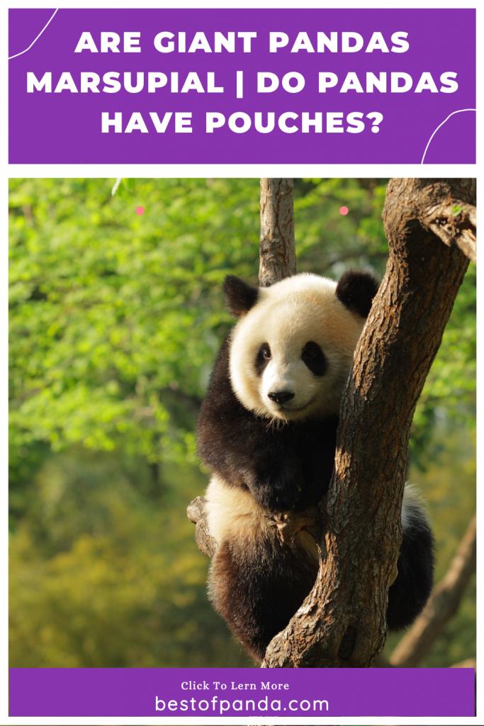 Pinterest Pin: Do Pandas Have Pouches
