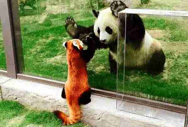 giant panda and red panda met each other in captivity