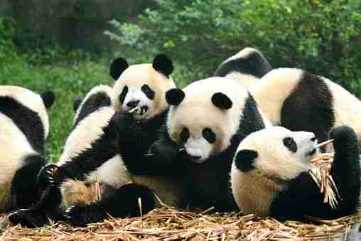 group of giant pandas eating in captivity