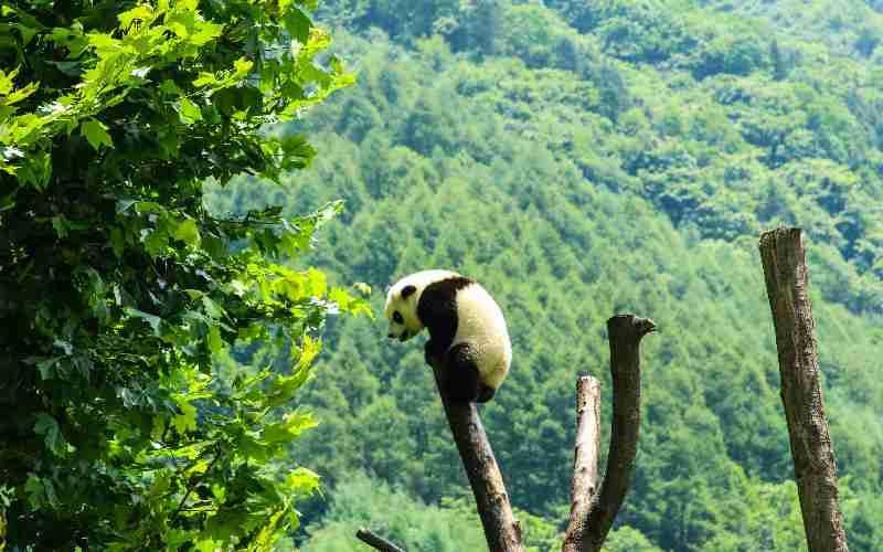 giant panda panda alone in the wild