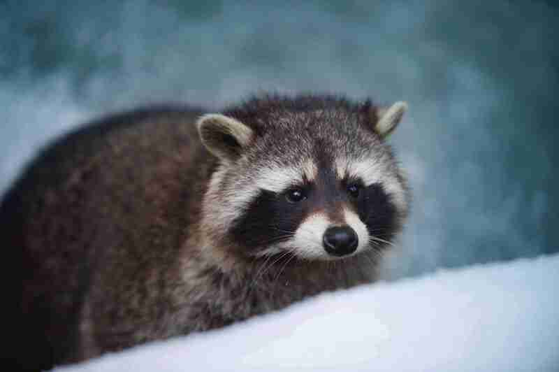 a lonely racoon in the winter