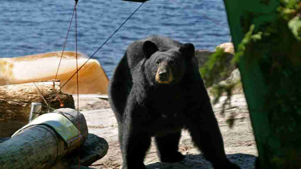 Black bear size