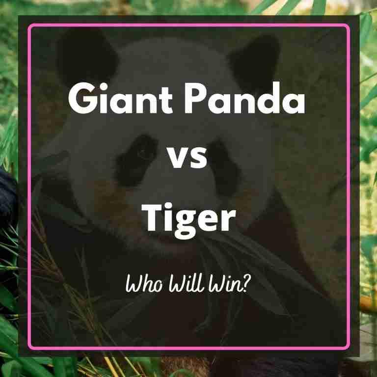 Giant Panda Vs Tiger Who Will Win