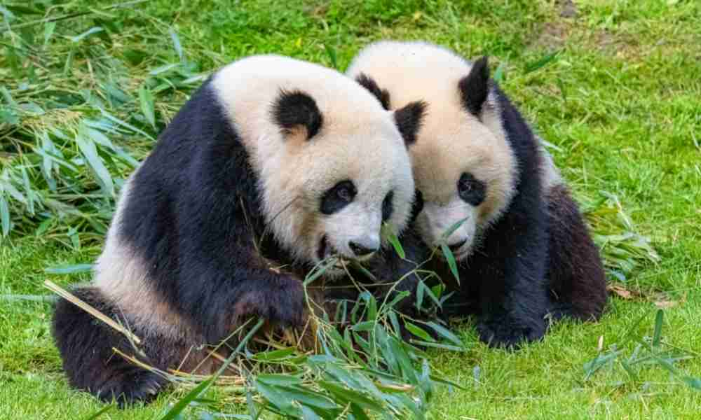 Two Pandas With Black and White Color