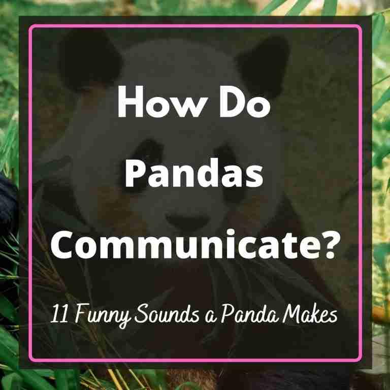 How Do Pandas Communicate