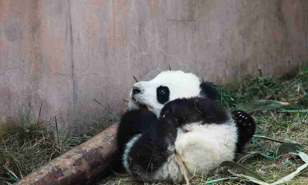 Baby Panda who survived after birth