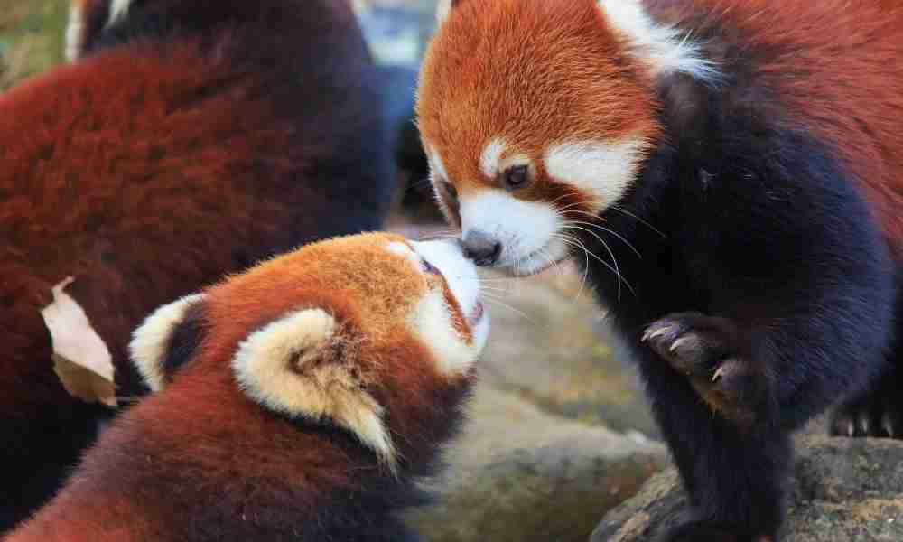 Male and Female Red Pandas Ready for Mating