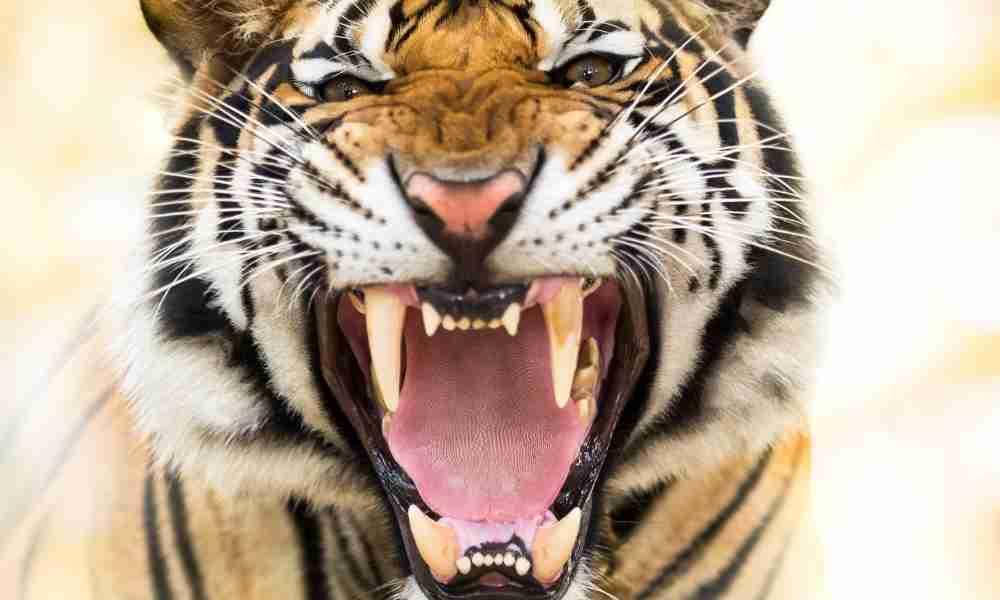 Battle of Strength - Tiger Bite Force