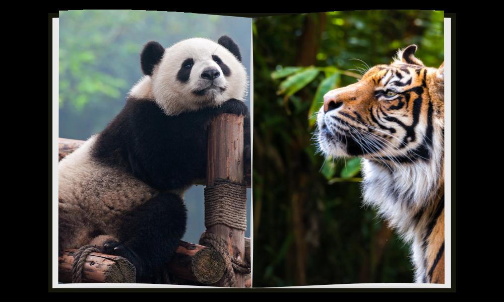 Panda vs Tiger: Who will win?