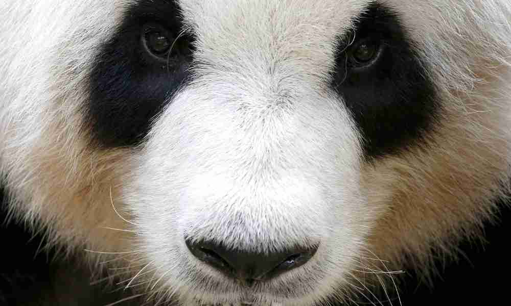 Giant Panda Eyes with Black Patches
