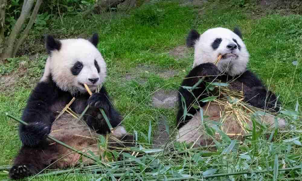 Male and Female Pandas Communicating for Mating Season