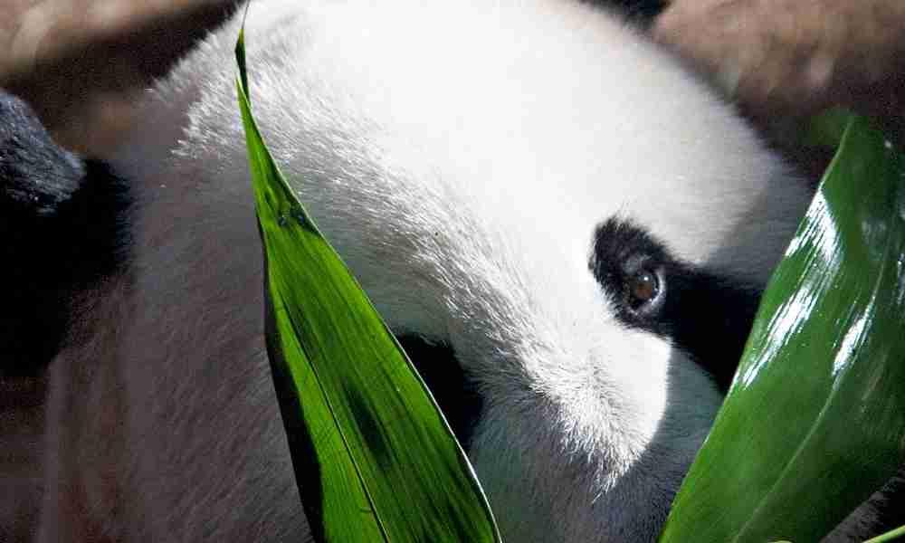 Black Patches Around a Panda's Eye