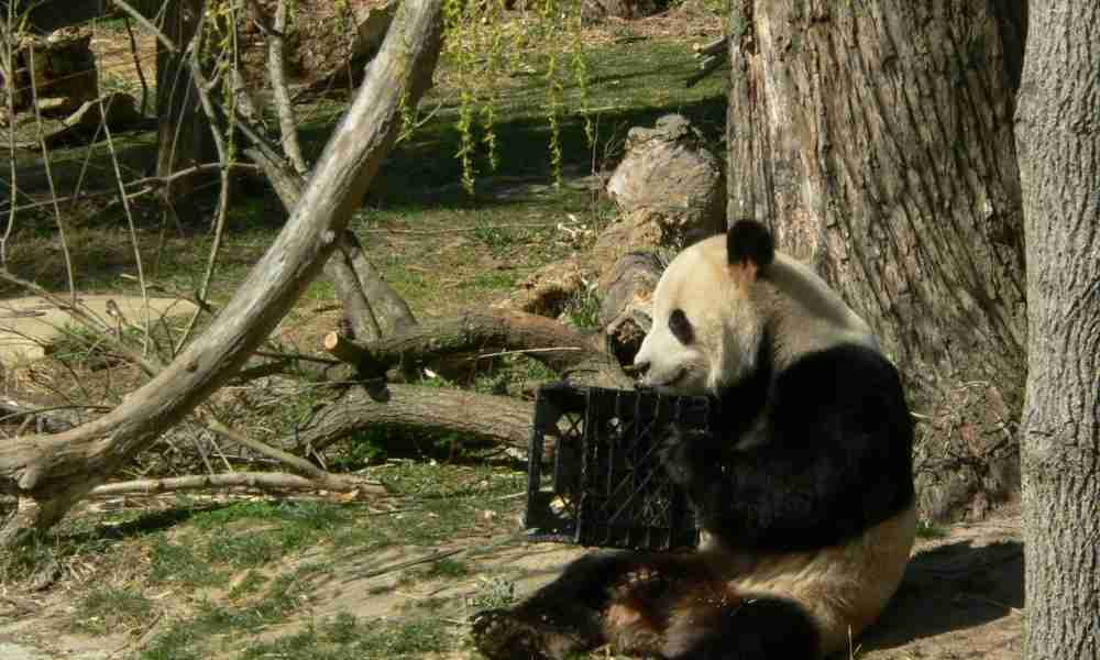 Males Pandas in the Wild
