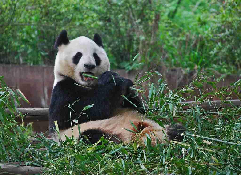 size of an adult panda