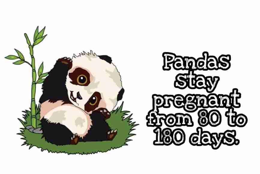 80 o 180 days of a pregnant panda