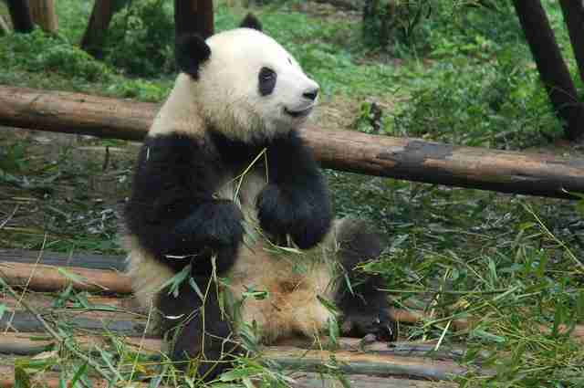 photo of a male giant panda depicting its huge size