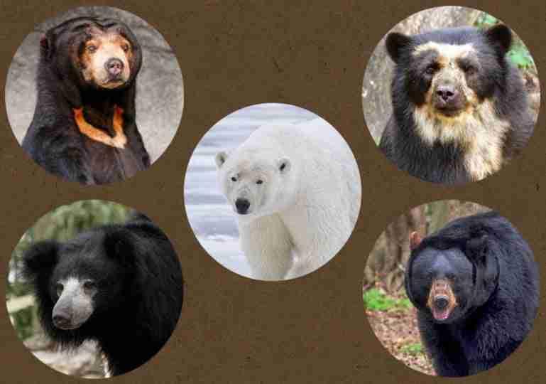 bears that do not hibernate