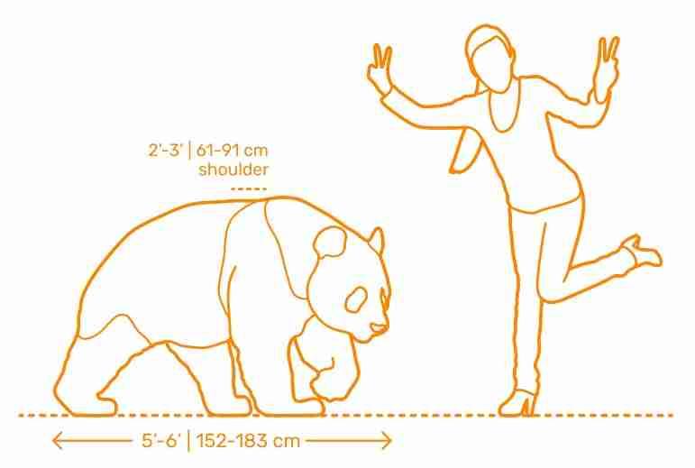 panda nd human size comparison illustration