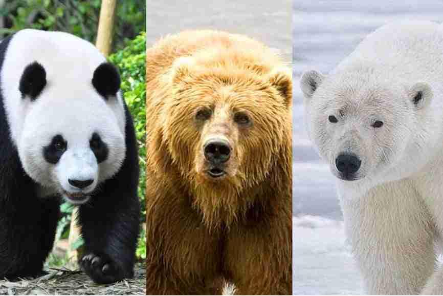 panda bear vs. grizzly bear vs. polar bear size comparison