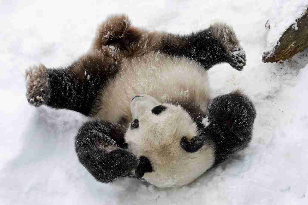 panda is not hibernating but playing on the show