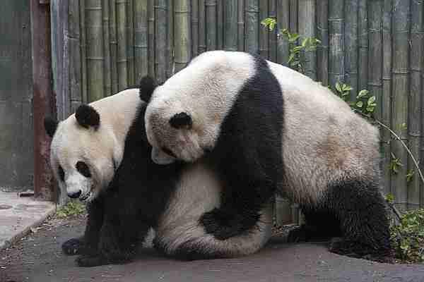 mating panda in captivity