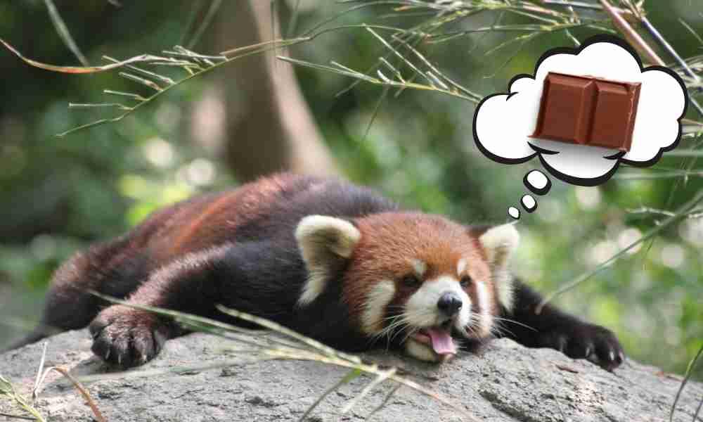 Red Panda Thinking of Eating Chocolates