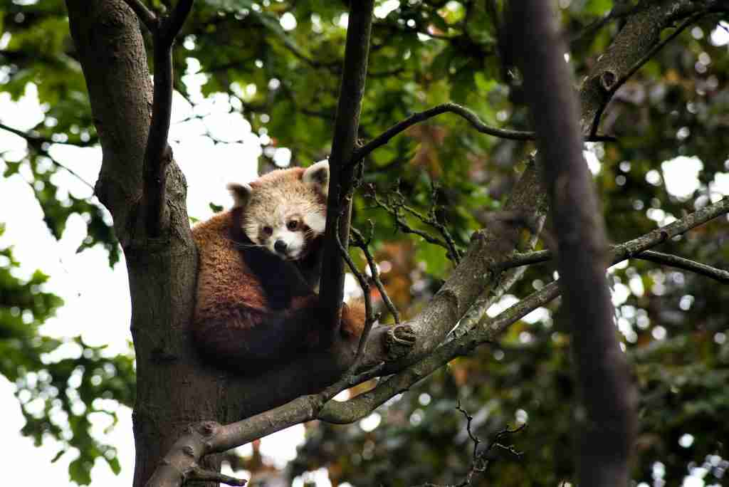 A picture showing red panda climbing tree