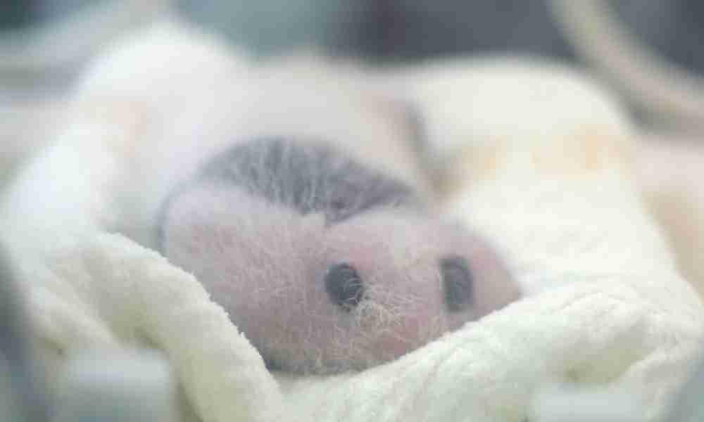 Baby Panda with Pink Fur