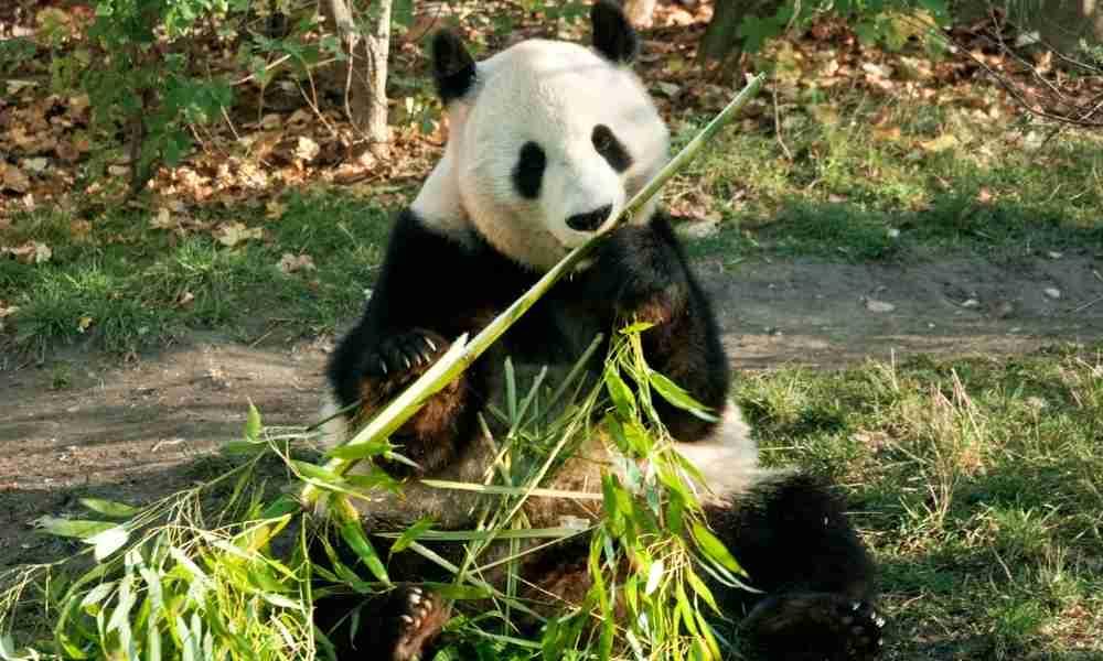 Giant Panda Eating Bamboos