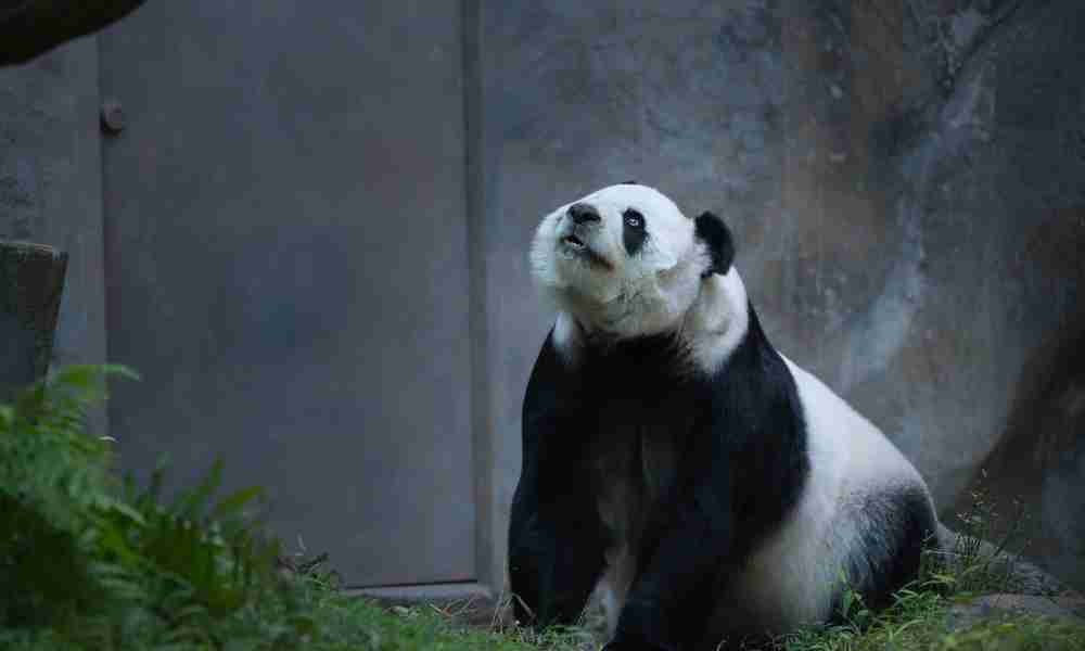 Save Pandas By Donating to the WWF