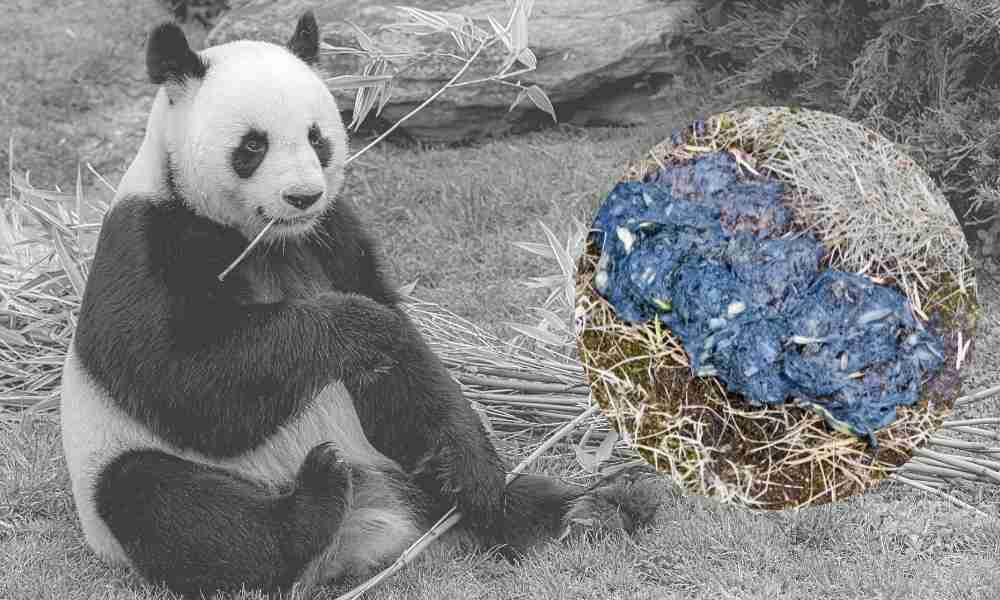 Panda Pooping After Eating Bamboo