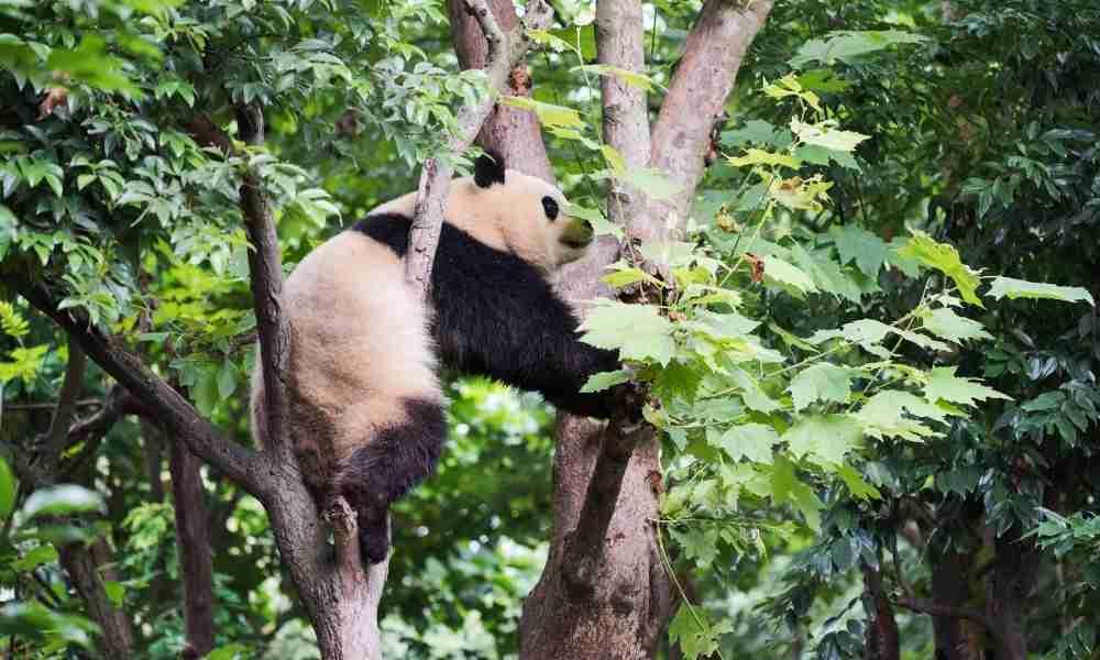 Giant Panda Climbing a Tree Fast