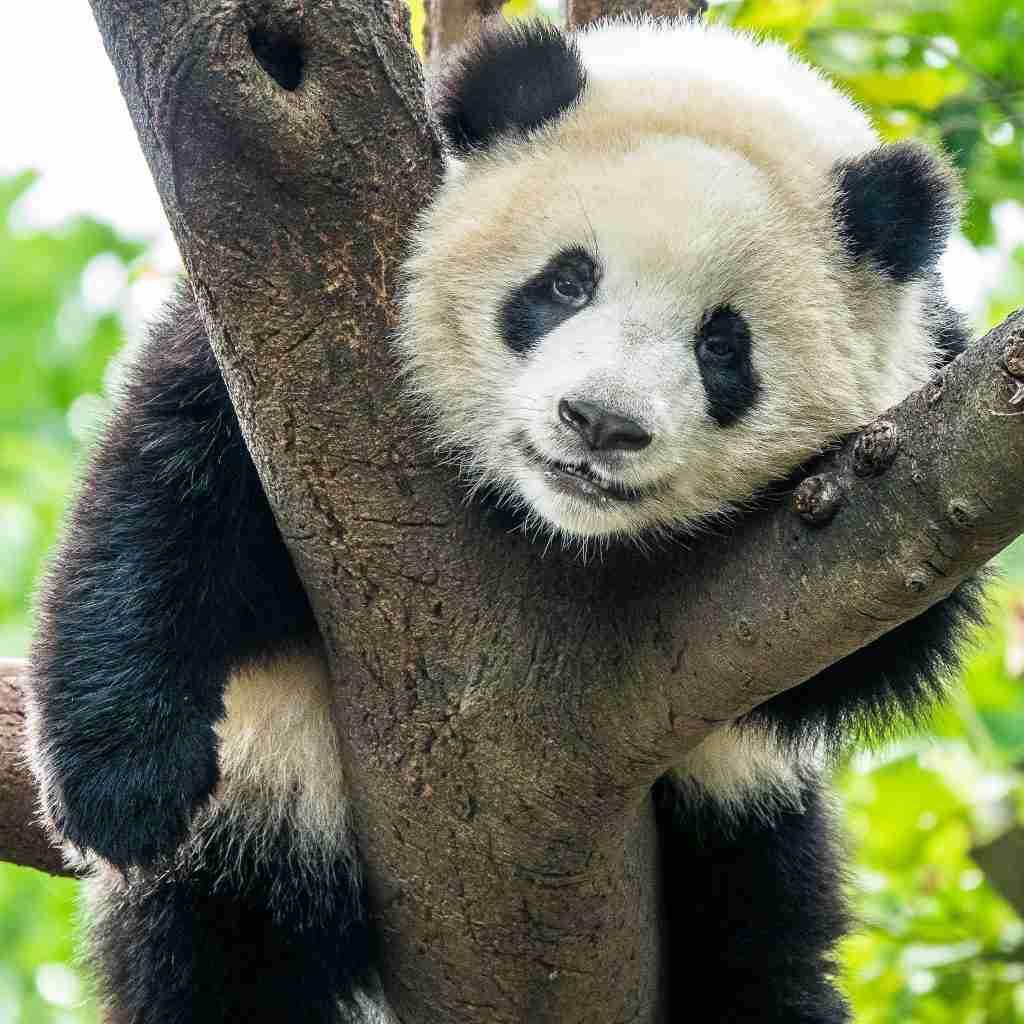 Giant Pandas - Mammals with Unique Black and White Fur