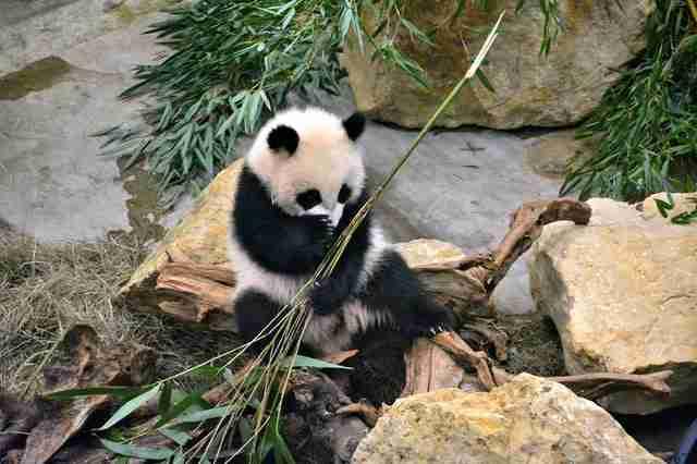 A photo of giant panda eating bamboo