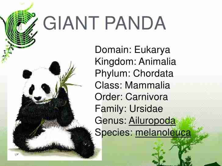 A picture showing the scientific classification of giant pandas