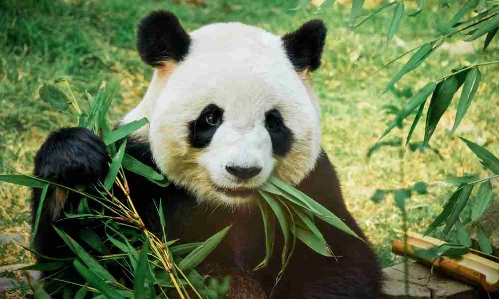 Tourism: Importance of Pandas to the World