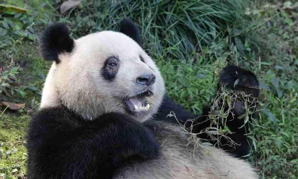 A Happy Panda Playing (Not Useless)