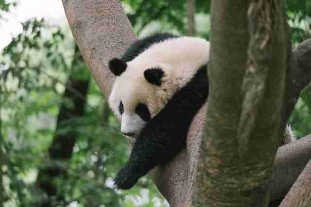 A picture of giant panda relaxing on a tree
