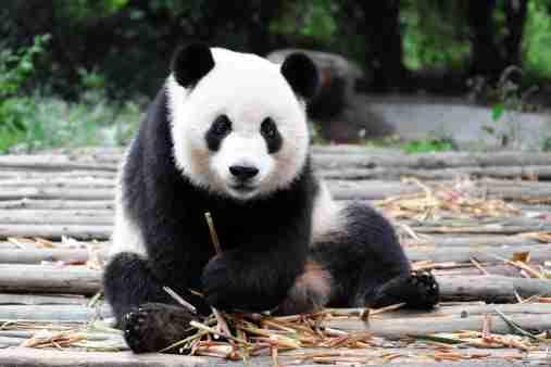 Panda Living in Captivity