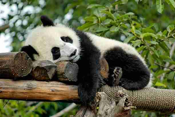 A Protected Giant Panda in Zoo